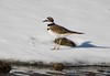7K8A5688 (rpealit) Tags: scenery wildife nature east hatchery alumni field hackettstown killdeer bird