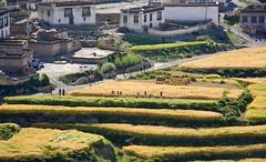 Start of the barley harvest at Yondza, Tibet 2017 (reurinkjan) Tags: tibetབོད བོད་ལྗོངས། 2017 ༢༠༡༧་ ©janreurink tibetanplateauབོད་མཐོ་སྒང་bötogang tibetautonomousregion tar dingriདིང་རི།county yondzatown harvesttimeསྟོན་དུས།töndü harvestedསྟོན་བསྡུསtöndü harvestfitforthesickleབརྔའ་བྱའི་ལོ་ཏོགngajélotok barleytobereapedབརྔོད་བྱའི་ནས tibetanབོད་པböpa tibetanpeopleབོད་མིbömi བོད་འབངསbömbang thewildfolksoftibetབོད་སྲིནbösin tibetanpeopleབོད་རིགསbörik himalayaཧི་མ་ལ་ཡ་ རི་himalayamtrangeརྒྱུད་ཧི་མ་ལ་ཡrigyühimalaya himalayasརི་གངས་ཅནrigangchen tibetanlandscapepicture