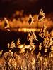 Weeds in backlight (part 2) (alterahorn) Tags: mzuikomc14 mzuiko omd mzuiko300mm olympus rieselfelder münster januar winterspaziergang graminées contrejour backlight gegenlichtaufnahme gegenlicht weeds gräser