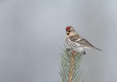 Redpoll (Joe Branco) Tags: photoshopcc2018 winterfinch finch ontario canada branco joe joebrancophotography redpoll nikond850 nikon wildlife green