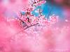平菁街寒櫻 (紅襪熊(・ᴥ・)) Tags: olympus omd em1 m43 micro43 microfourthirds olympusem1 sakura 櫻 櫻花 cherryblossoms pink flower flowers blossom blossoms cherry cherryblossom cherryblossomfestival cherrytree cherrytrees garden macro nature park plant sky spring travel tree trees white さくら サクラ 春 桜 花 花見 賞櫻 粉 粉紅 bokeh 平菁街 陽明山平等里 寒櫻 sigma 150mm sigma150mmmacro apo f28 sigmaapomacro150mmf28 sigmamacro150mmf28 150mmf28 sigma150mmf28