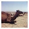CAMEL (benedictjones1) Tags: found photography camel nature animal analogue film