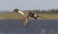 Incoming Pintail (Steve (Hooky) Waddingham) Tags: stevenwaddinghamphotography bird nature wild duck wildlife wildfowl flight