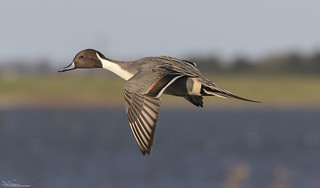 Incoming Pintail