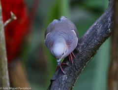 3- Es increible como las hormonas de cortejo  y el Breeding plumaje llega a encender los colores tornasoles de cortejo en esta especie que en tiempo no reproductivo se queda en el monocromático! (Cimarrón Mayor 14,000.000. VISITAS GRACIAS) Tags: ordencolumbiformes familiacolumbidae nombrecientíficozenaidaauriculatacaucae macho zenaidatorcaza tórtolatorcaza tórtolaorejuda palomitamontera protónimozenaidaauriculatacaucae ningleseareddove male lugardecapturafincaalejandríakm18 cali colombia ave vogel bird oiseau paxaro fugl pássaro птица fågel uccello pták vták txori lintu aderyn éan madár cimarrónmayor panta pantaleón josémiguelpantaleón objetivo500mm telefoto700mm 7dmarkii canoneos canoneos7dmarkii naturaleza libertad libertee libre free fauna dominicano pájaro montañas