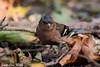 Jean-Luc Wolf_2017-10-22_10-53-03_01 (Jean-Luc Wolf) Tags: oiseaux parcdesceaux parcdesceaux22102017 pinsondesarbres sceaux antony îledefrance france fr