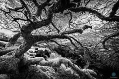 Twisted (pm69photography.uk) Tags: westokementriver meldon dartmoor devon twisted trees moody monochrome bw blackandwhite tree southwest sundaylights pm69photographyuk
