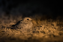 Sykes's Nightjar | Caprimulgus mahrattensis (Paul B Jones) Tags: india sykessnightjar caprimulgusmahrattensis littlerannofkutch gujarat nature wildlife night nocturnal canoneos1dxmarkii ef500mmf4lisiiusm asia asian tourist tourism travel ecotourism indian indiya inde indien indië bird birding