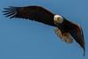 Eagle Staredown (barnmandb65) Tags: eagle eye soar stare focus bif