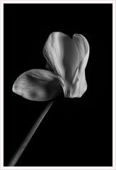 Fiore 238 (Outlaw Pete 65) Tags: macro closeup fiore flower cyclamen biancoenero blackandwhite bianco white nero black nikond600 sigma105mm brescia lombardia italia