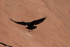 A crow in flight in Arches National Park, Utah (Hazboy) Tags: hazboy hazboy1 arches arch delicate national park parc utah us usa america october 2017