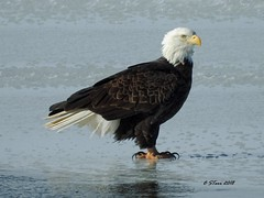DSCN4955 eagle on ice (starc283) Tags: americanbaldeagle bird birding birds baldeagle starc283 flickr flicker wildlife raptor outdoors outdoor nature naturesfinest naturewatcher