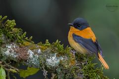 Black-And-Orange Flycatcher (Male) (kushal_0074u) Tags: blackandorange flycatcher male ficedula nigrorufa western ghats india dec 2017