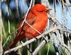 Summer Tanager #2 (beautyinature4me) Tags: bird aviansummertanager brightred deadhorsestatepark cottonwood arizona may2016