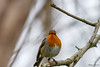 Rouge-gorge familier (Philippe Renauld) Tags: rougegorge familier domainedesoiseaux calmont occitanie france fr