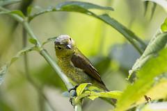 Barred Becard (fernaabs) Tags: barred becard pachyramphus versicolor cabezón ondeado passeriformes tityridae aves fernaabs burgalin avesdecostarica