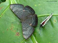 Emesis castigata (LPJC) Tags: quitacalzones manuroad manu peru 2016 lpjc butterfly emesiscastigata
