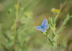 dreaming of blue (Emma Varley) Tags: butterfly commonblue westsussex dreamy shallowdepthoffield soft nature insect animal wild