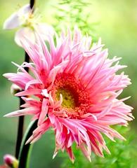 Spring is in the Air (barbara_donders) Tags: flower bloem pink roze nature natuur spring lente beautifull beauty magical mooi prachtig bokeh