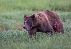 The Wounded and Defeated Bear Departs (Turk Images) Tags: britishcolumbia coastalrainforest greatrainforest grizzlybear ktzimadeengrizzlybearsanctuary khutzeymateengrizzlybearreserve maritimecoast ursusarctoshorribilis breedingseason bears mammals ursidae