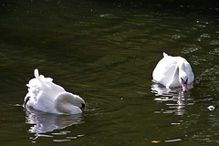549-05L (Lozarithm) Tags: chippenham kx rivers riveravon swans sigma 70300 sigmaaf70300mmf456apodgmacro