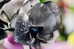 Orquídea (ameliapardo) Tags: orquidea negra flores plantas floresyplantas macrodeflores sevilla andalucia españa fujixt1