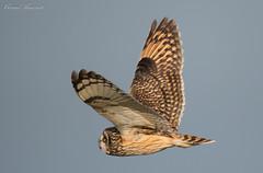 Short Eared Owl close up, Dorset, UK (conrad_hanchett) Tags: owl shortearedowl nikon d500 dorset