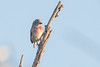 Common Linnet (steve happ) Tags: morocco oualidia redpoll