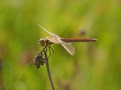 Sympetrum Pedemontanum (Visual Stripes) Tags: dragonfly odonata invertebrate insect nature epm1 olympus olympusepm1 sympetrum sigma105mm macro dof handheld bokeh closeup netherlands 2017 plant