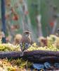 I magnifici colori del verdone femmina. (Danilo Agnaioli) Tags: umbria italia natura inverno verdone birdgardening canon7dmarkii