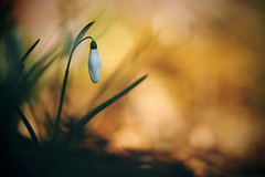 welcome to the jungle (christian mu) Tags: flowers bokeh nature winter schneeglöckchen snowdrop germany muenster münster christianmu macro sony sonya7riii sonya7rm3 9028g 9028 90mm