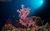 27022018-_1240460 (chevalbenjamin) Tags: philippines visayas bohol underwaterphotography underwater scubadiving dive plongéesousmarine plongée softcoral 8mmpanasonic seaocean