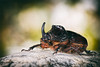 The Tank (Red Gecko Photography) Tags: rhino beetle hard shell wings heavy nature andalucia spain rocks insects bugs