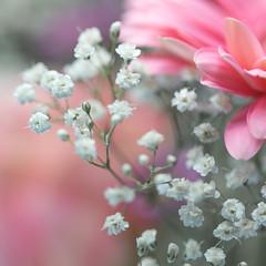 Flowers (janeway1973) Tags: gerbera flower blume blüte bloom tender colorful pastel spring frühling zart bunt pastell schleierkraut babys breath pink rosa macro makro closeup nahaufnahme