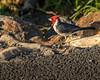 Red-crested cardinal_0160_Oahu_1-12-18_resized (profman_wildlife_photos) Tags: hawaii makapuutrail oahu redcrestedcardinal