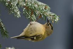 Goldcrest (Regulus regulus) (MarkYoud) Tags: snow birds wildlife goldcrest fieldfare redwing devon