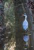 reiger-5 (Gerald Schuring) Tags: greyheron reiger blauwereiger assen asserbos geraldschuring gerald schuring drenthe vogel bird
