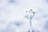 Frozen (Vaičiulisfoto) Tags: frozen snow winter cold nature natural landscape white photography outside retouch nikon 50mm