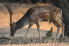 Damhirsch (Dama dama) (lars.begert) Tags: naturpark sierrasdeandujar naturepark andalusia andalucia damadama gamo parquenatural spanien