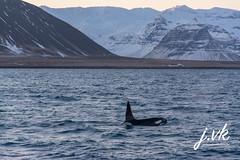 Iceland Killer whale (jornvk) Tags: iceland killerwhale snæfellsnes winter view mountains water sea ocean whale boat sky mountain landscape