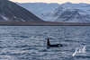 Iceland Killer whale (jornvk) Tags: iceland killerwhale snæfellsnes winter view mountains