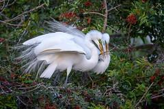 Great egret (Ardea alba) couple adding a stick to their nest, Venice Rookery, Venice, Florida (diana_robinson) Tags: greategret ardeaalba greategretcouple stick nest buildinganest venicerookery venice florida