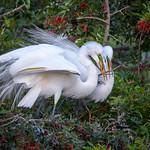 Great egret (Ardea alba) couple adding a stick to their nest, Venice Rookery, Venice, Florida thumbnail