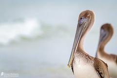 Brown Pelican (Birds Of Amsterdam) Tags: brown pelican pelikaan bird pelecanus occidentalis ocean beach fort meyers wildlife