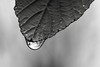 the elixor of life (Paul Wrights Reserved) Tags: water drop drip macro leaf fisheye bokeh forest trees rain raindrops veins art focus closeup nature naturephotography