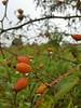 Rosa canina (Iggy Y) Tags: rosacanina rosa canina summer fertile berry orange color fruit berrys green leaves nature garden field plant šipak divljaruža dogrose rose ruža day light rain drops droplet sky cloud