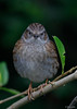 Heggenmus - Dunnock - Hedge Accentor - Prunella modularis-3823 (Theo Locher) Tags: vogels heggenmus dunnock hedgeaccentor heckenbraunelle accenteurmouchet prunellamodularis birds vögel oiseaux netherlands nederland copyrighttheolocher