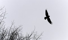 Crow Wingspread (imageClear) Tags: crow bif flying wingspread contrast blackandwhite bw branches nature wildlife aperture nikon d500 105mm 105mmf28 imageclear flickr photostream bird