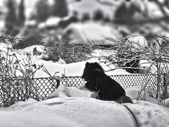 Jump over, or not to jump over.. (evakongshavn) Tags: dog fence winter snow new light white bnwphoto bnw bw blancoynegro blacknwhite blackandwhite blackwhite negro biancoenero bianco fences garden snowfall 7dwf art