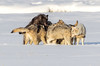 Leader of the Pack (adovision) Tags: wolves wolf yellowstone national park usa winter snow scwne